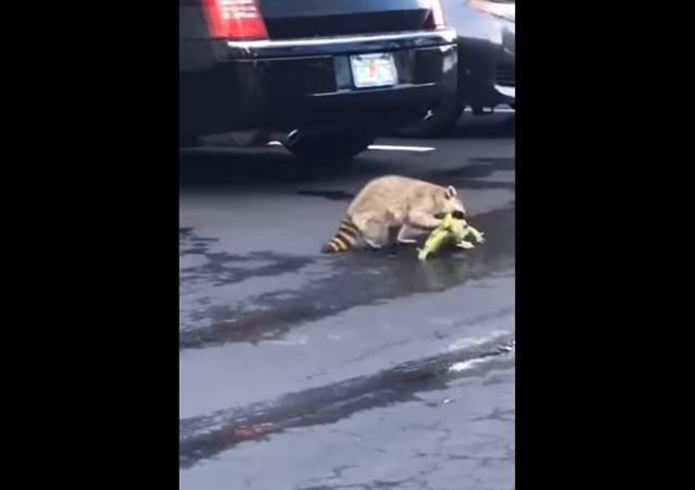 Iguana perde cauda em briga com guaxinim enfurecido