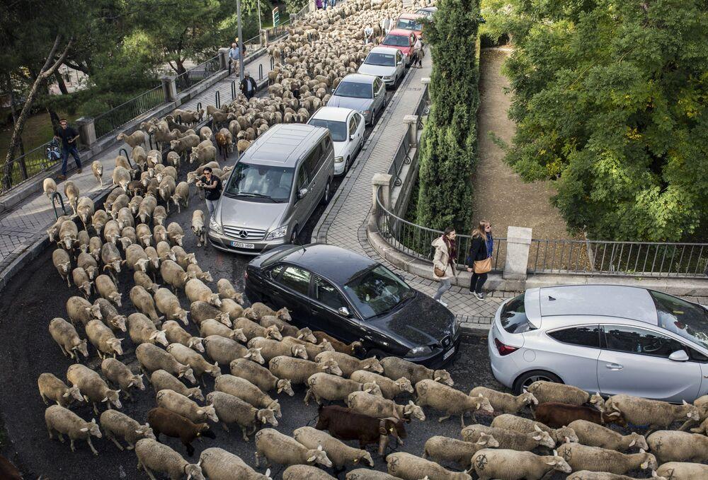 Transumância anual de ovelhas através das ruas de Madri, a chamada Fiesta de la Trashumancia