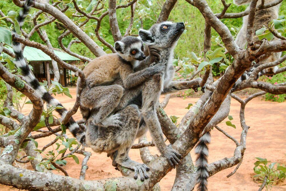Lémure-de-cauda-anelada na reserva Berenty, Madagascar
