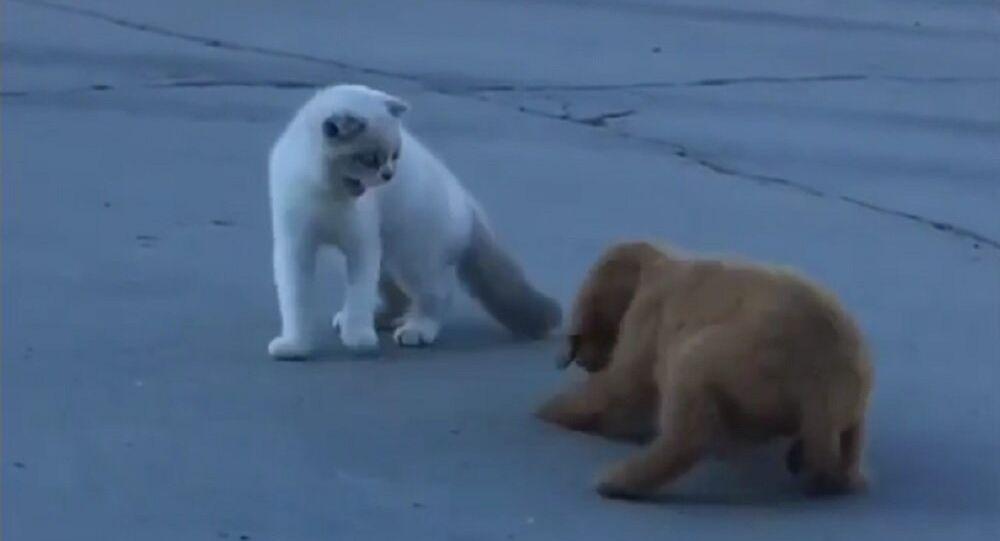 Gato fica irritado com cachorrinho cheirando seu rabo