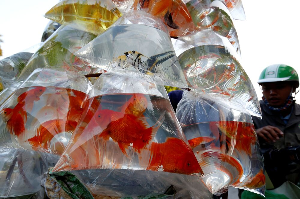 Peixes ornamentais sendo vendidos em sacos de plástico na rua do Vietnã, 30 de outubro de 2018