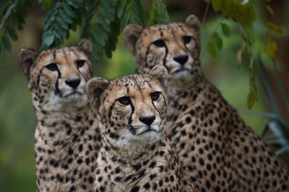 Chitas no zoológico de Beauval em Saint-Aignan, França, em 29 de outubro de 2018