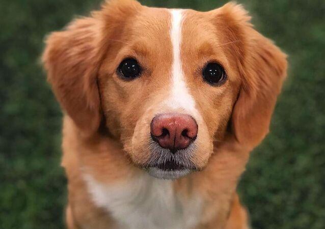 Moxie, cachorro norueguês