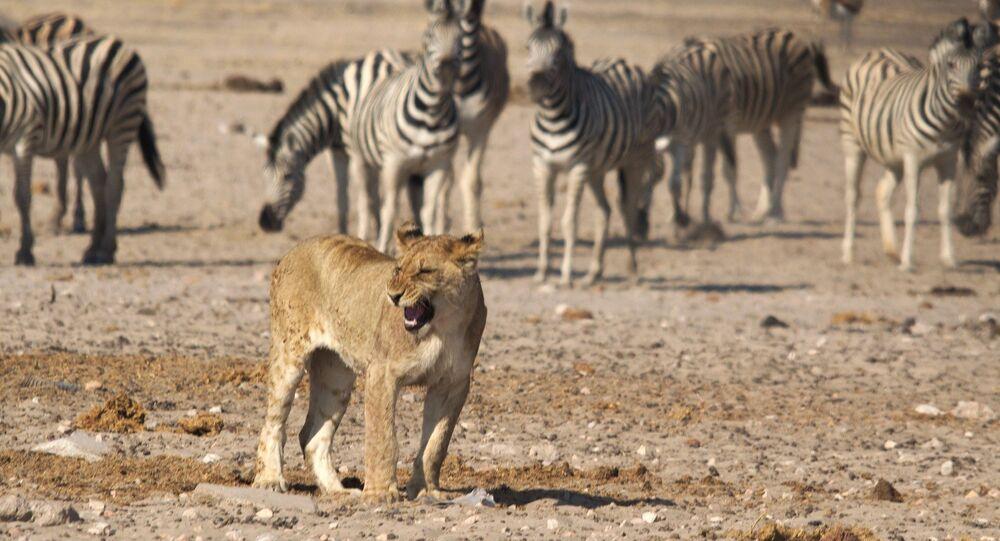 Leoa entre as zebras