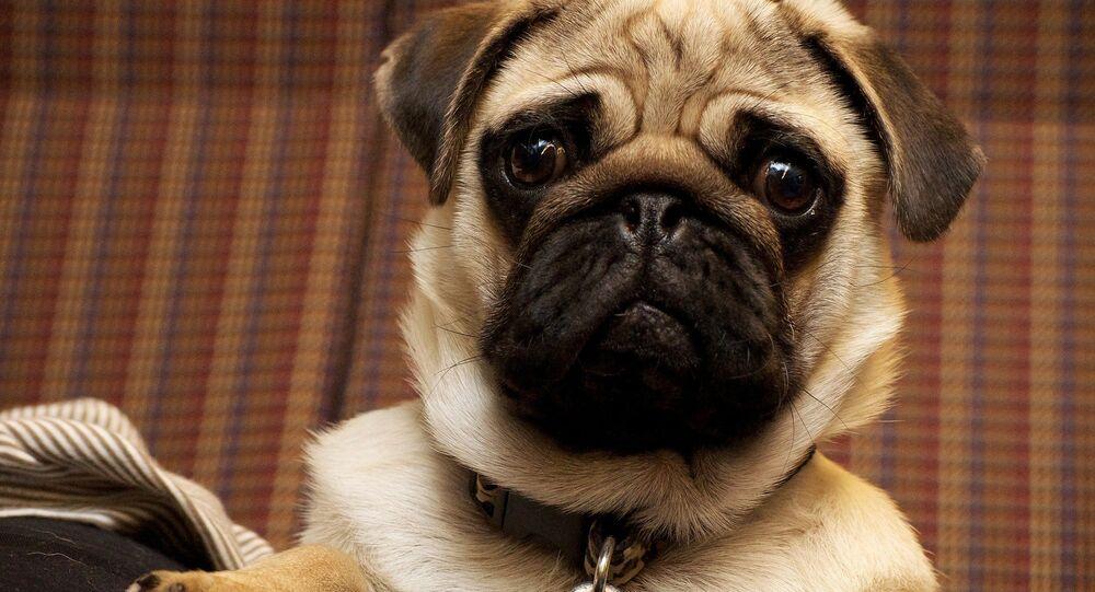 Cachorro da raça pug (imagem ilustrativa)