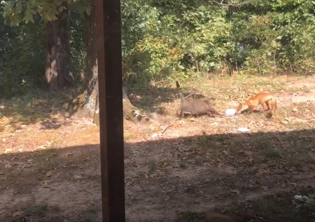 Gato briga com raposa que procura comida em quintal