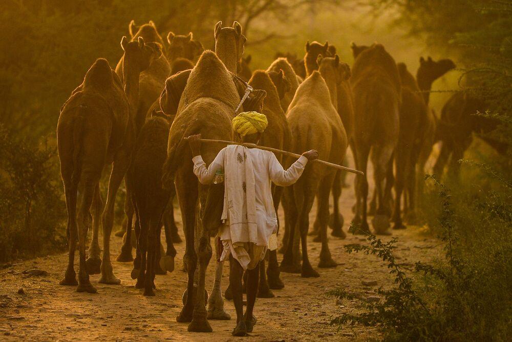 Pastor de camelo leva seu rebanho na feira de camelos em Pushkar, Índia