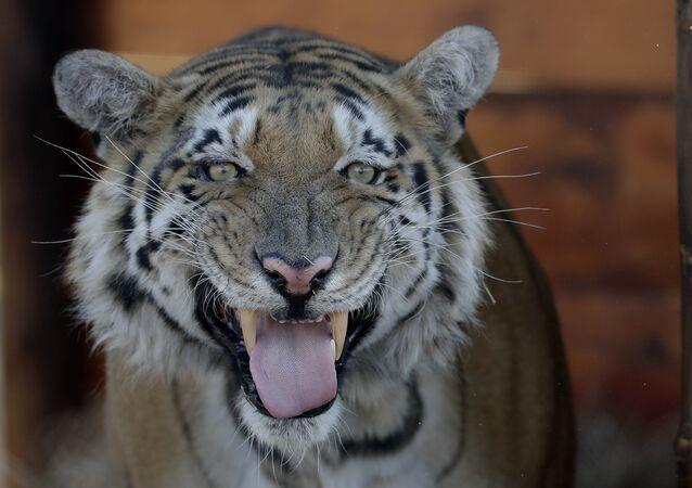 Um tigre (imagem referencial)