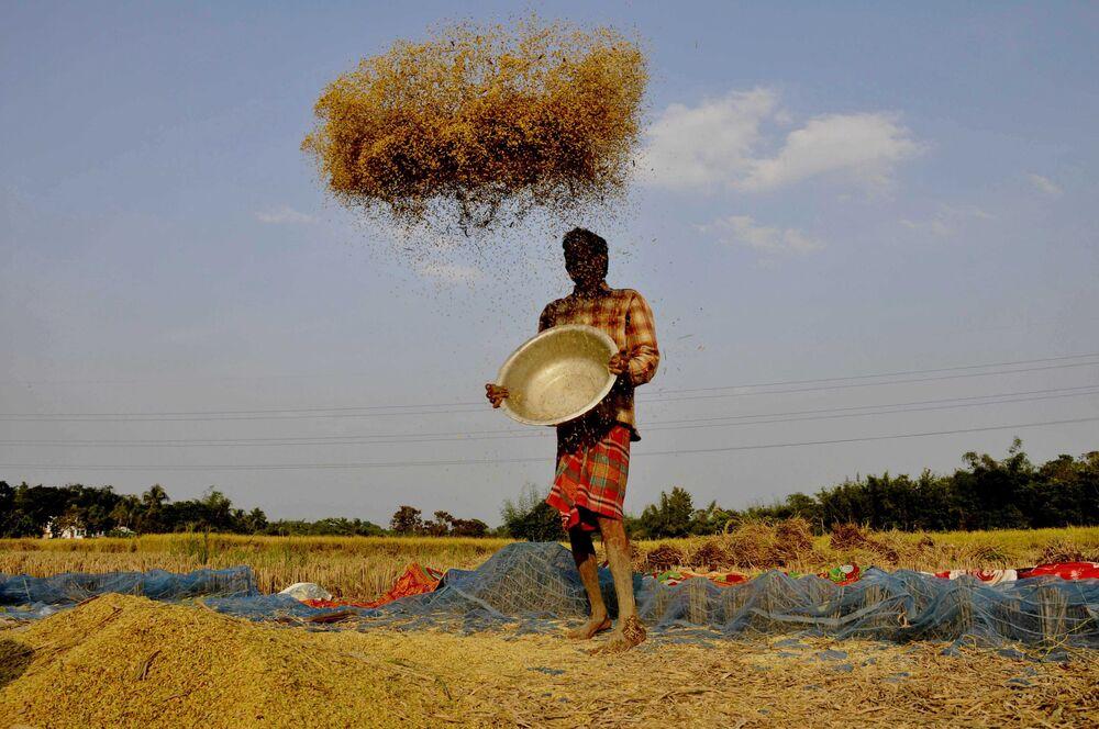 Fazendeiro joeira arrozais em um campo nos arredores de Agartala, estado indiano de Tripura