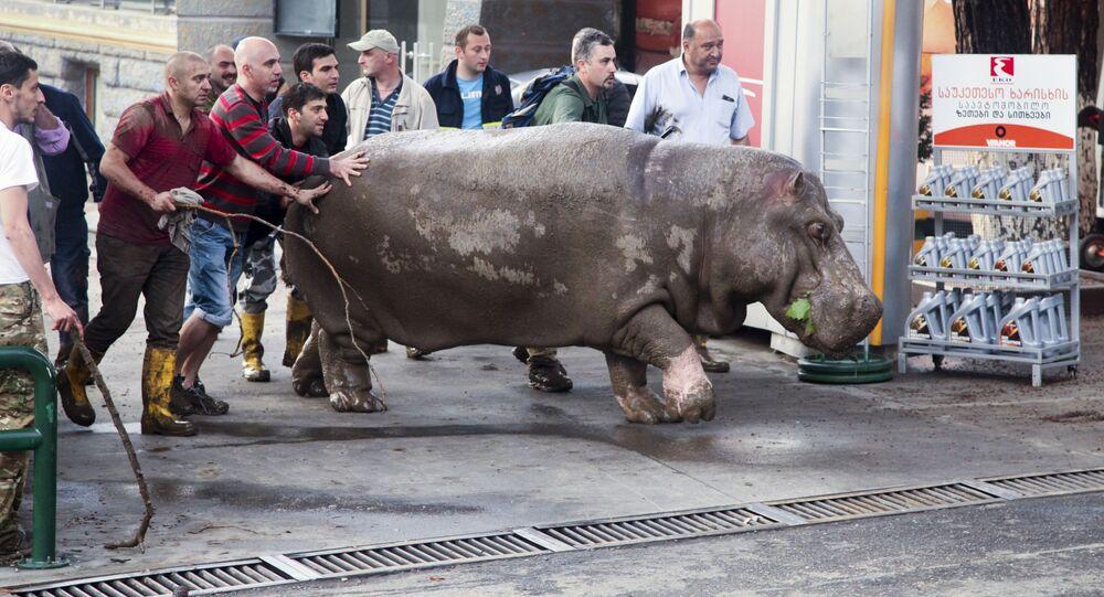 Pessoas ajudam um hipopótamo a abandonar a área alagada