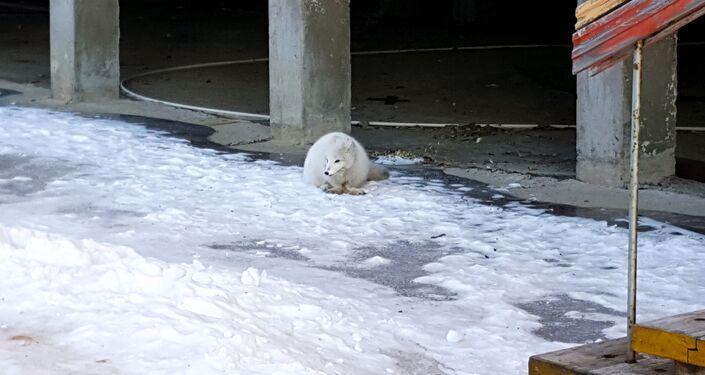 Raposa polar em uma rua do povoado Piramida