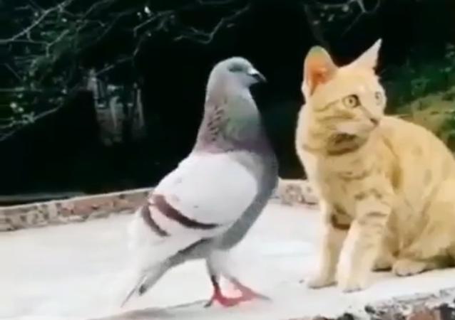 Pombo chama gato para brigar