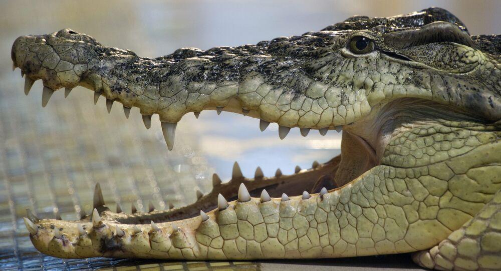Crocodilo do Nilo (imagem de arquivo)