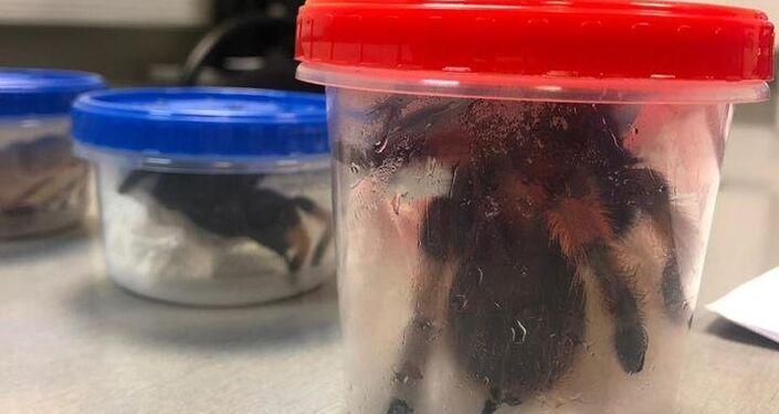 Aranhas mexicanas encontradas na bagagem de um cidadão no aeroporto de Moscou