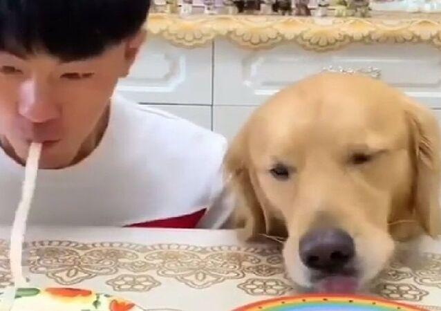 Cachorro come dois pratos de macarrão