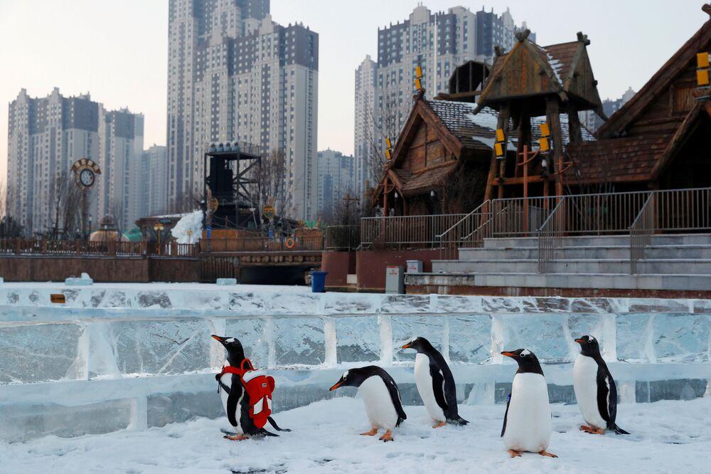 Pinguins gentoo no Festival de Neve e Gelo de Harbin, na China