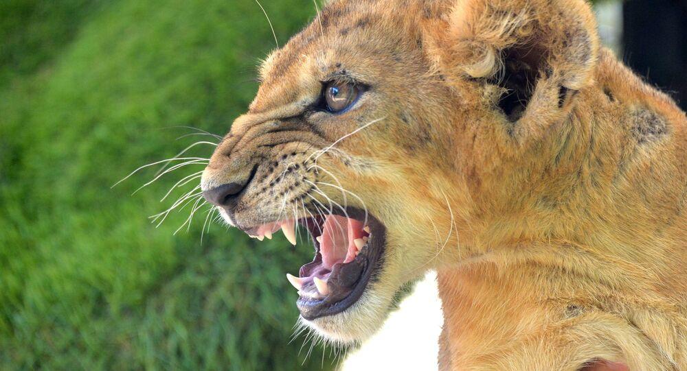 Leoa com boca aberta (imagem referencial)