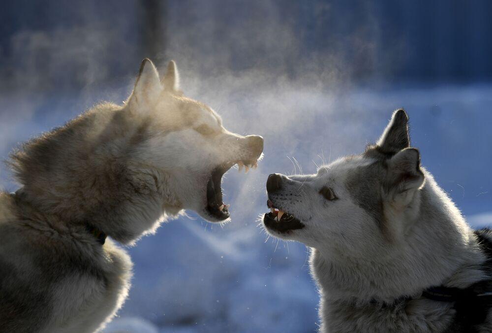 Cachorros de participantes do Campeonato da Região de Novossibirsk de Mushing antes da corrida, Rússia