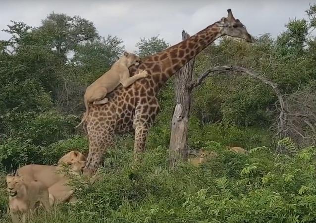 Leoas atacam girafa