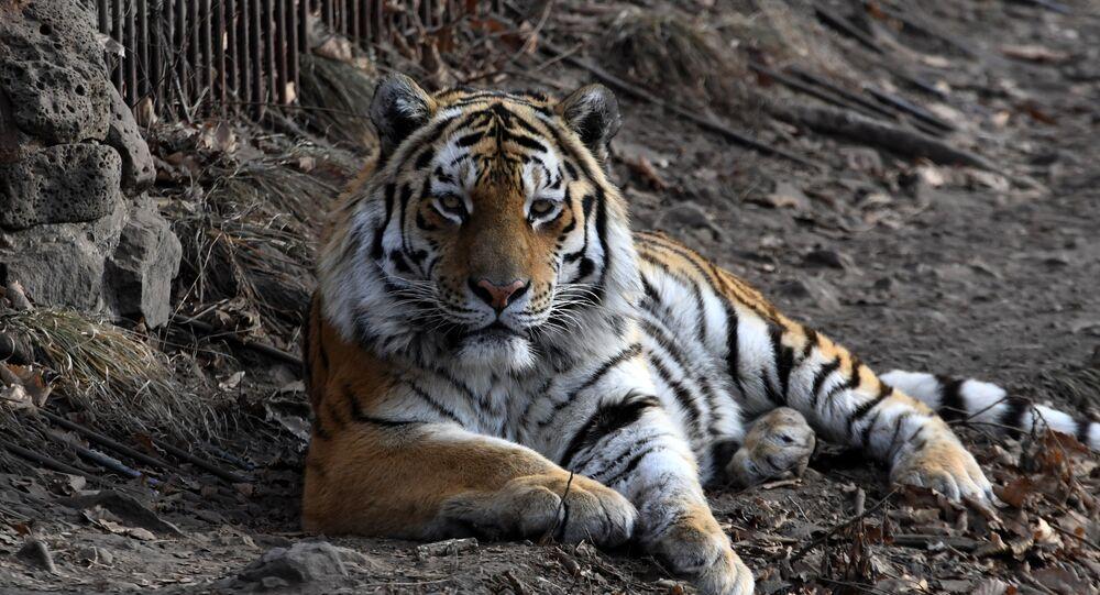 Tigre Amur em um parque de vida selvagem no Extremo Oriente russo