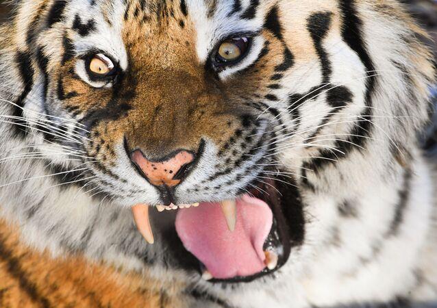 Tigre-siberiano no parque-safári da região de Primorsky, na Rússia