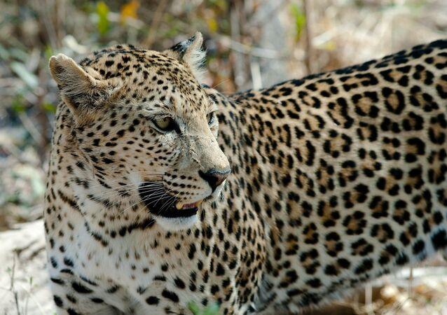 Leopardo (imagem referencial)