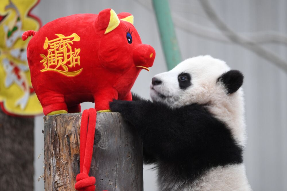 Filhote de panda joga com boneco porquinho em parque natural chinês nas vésperas do Ano Novo Chinês