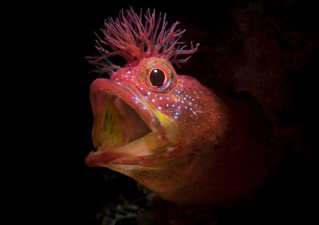 Foto do peixe Chaenopsidae, com o títuloRugido, que obteve uma menção honrosa no 7º Concurso Anual de Fotografia Subaquática de 2018