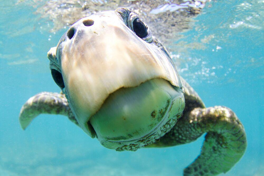 Tartaruga-verde na foto Curiosidade, distinguida com menção honrosa no concurso de fotografia de 2018