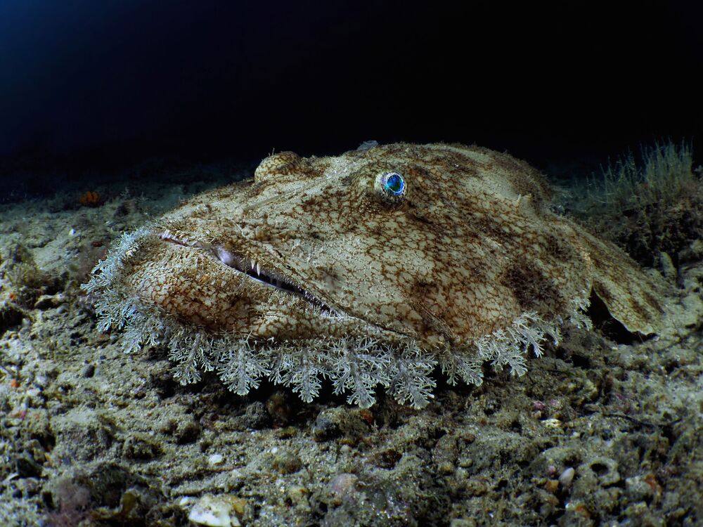 Um dos vencedores do concurso: um peixe-pescador, uma espécie de peixe-sapo, que habita o nordeste do Atlântico