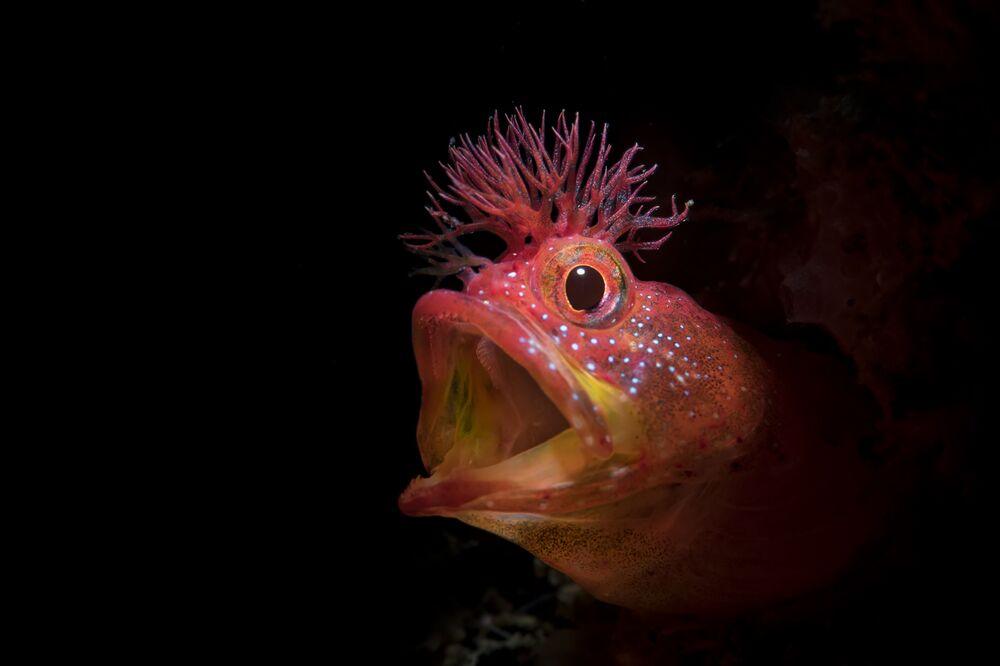Foto do peixe Chaenopsidae, com o título Rugido, que obteve uma menção honrosa no 7º Concurso Anual de Fotografia Subaquática de 2018