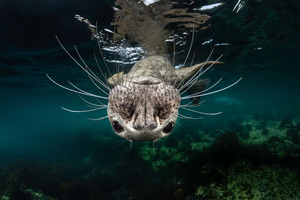 Focinho de Foca Cinzenta do fotógrafo Greg Lecoeur que recebeu o 1º lugar na categoria Água Fria