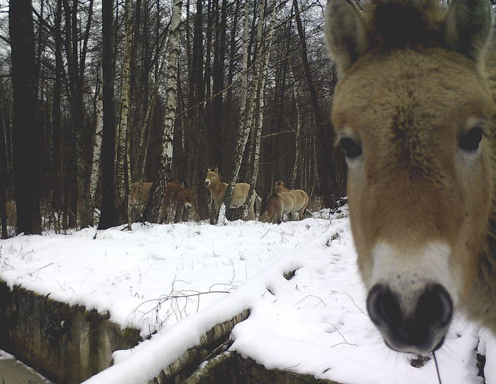 Cavalo selvagem na zona de exclusão de Chernobyl filmado em dezembro de 2013, uns 30 anos depois do desastre na Usina Nuclear de Chernobyl