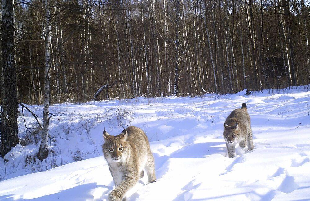 Linces passeiam pela floresta na zona de exclusão de Chernobyl