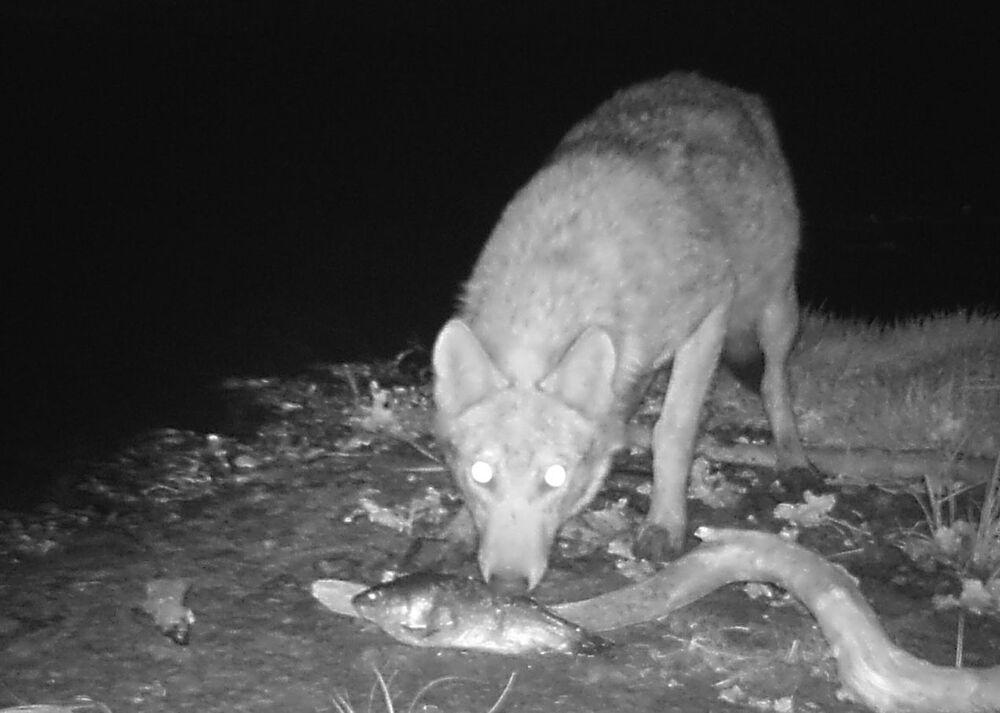 Lobo come peixe em plena escuridão, depois de 30 anos do desastre na Usina Nuclear de Chernobyl