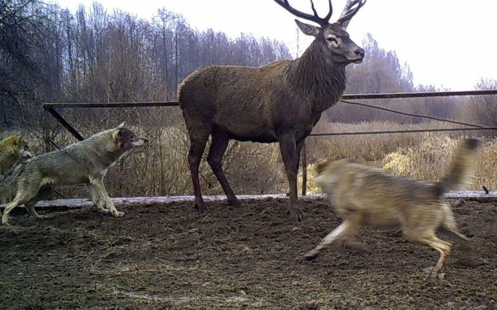 Lobos atacam cervo na zona de exclusão de Chernobyl