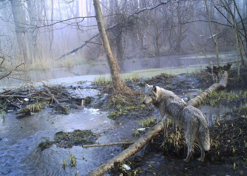 Lobo caminha por floresta ucraniana de Chernobyl onde cerca de 30 anos atrás aconteceu um dos piores acidentes nucleares da história