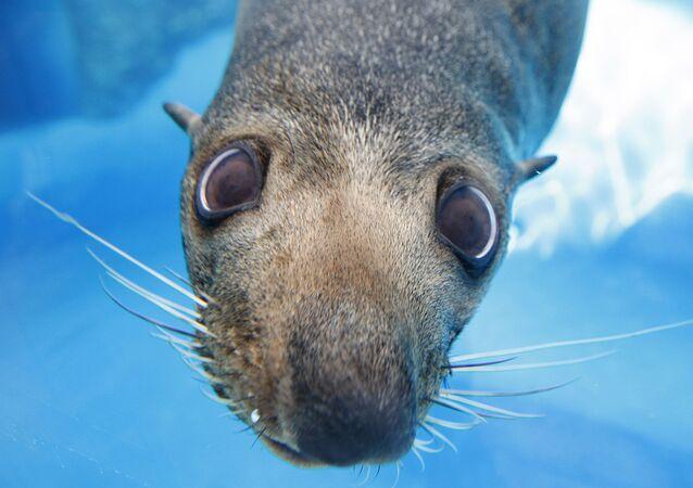 Mav, uma foca da Nova Zelândia, olha através do vidro de uma janela do Jardim Zoológico Taronga, em Sydney