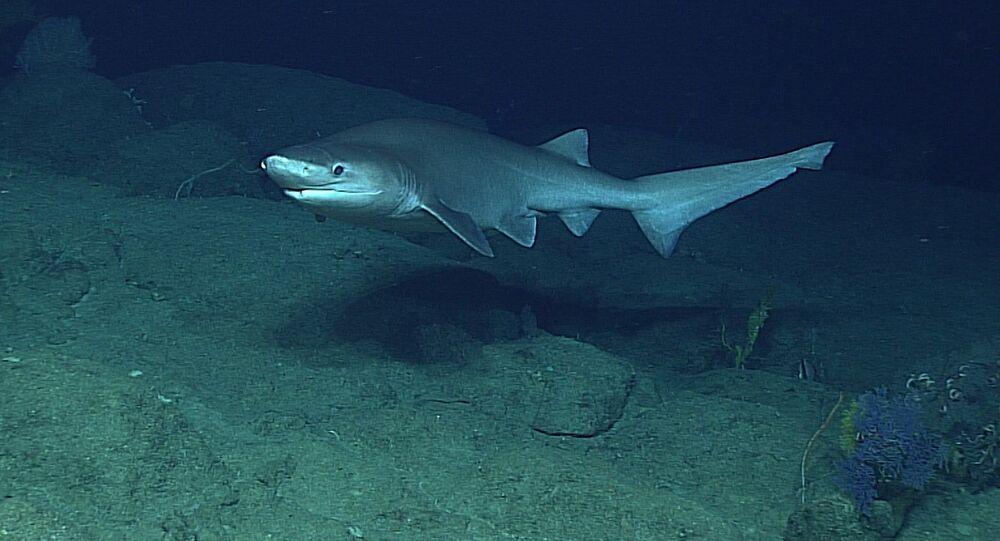 Tubarão-albafar (foto de arquivo)