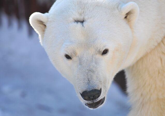 Urso polar (foto do arquivo)