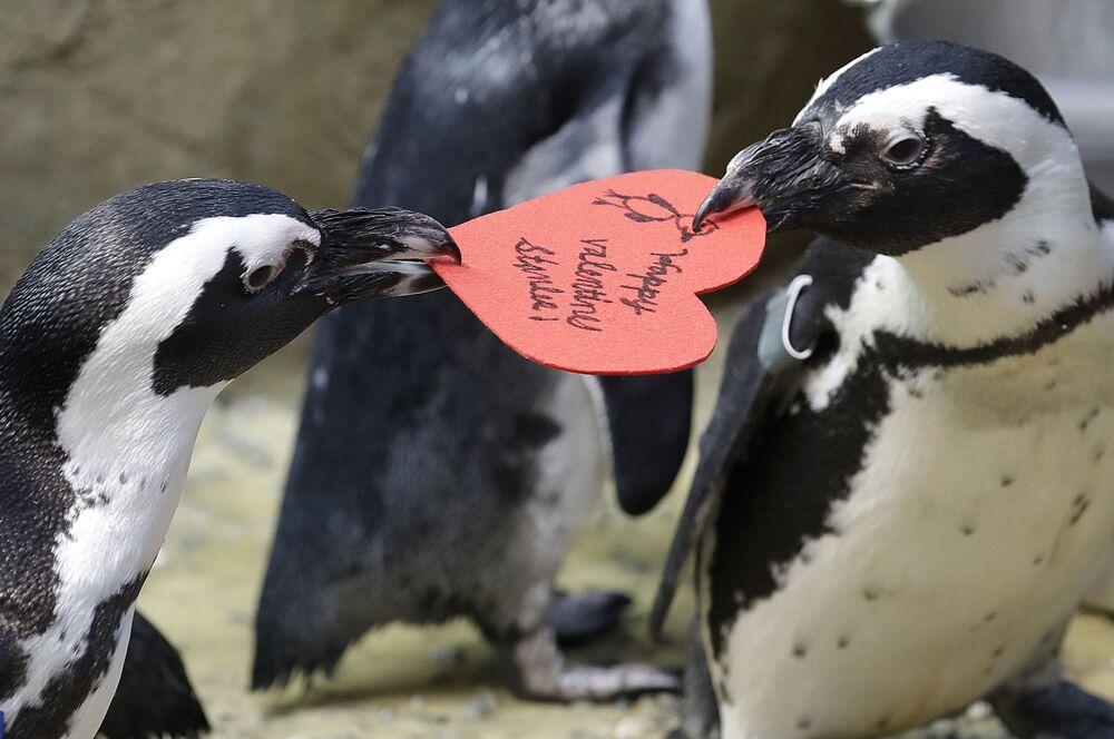 Pinguins africanos competem por cartão em formato de coração distribuído por biólogo, em São Francisco, EUA, 12 de fevereiro de 2019