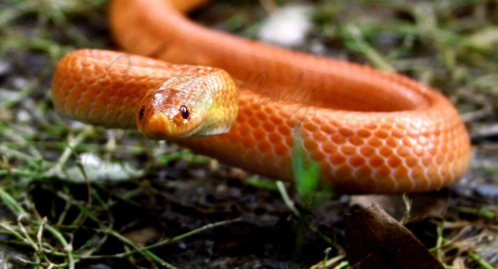 Cobra-coral vermelha