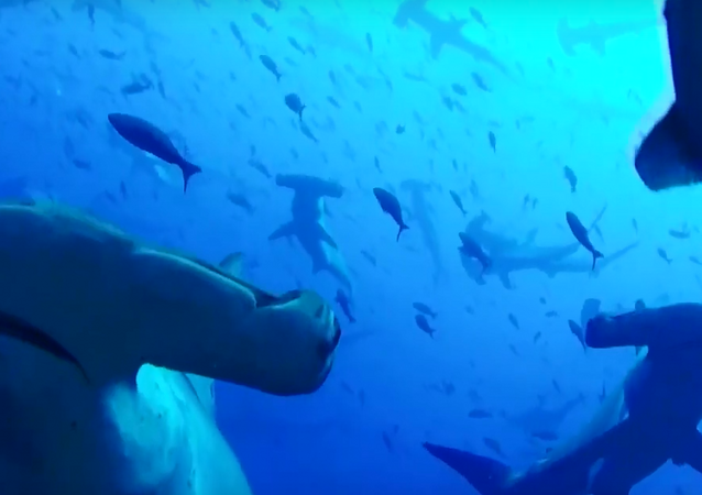 Cardume de tubarões-martelos