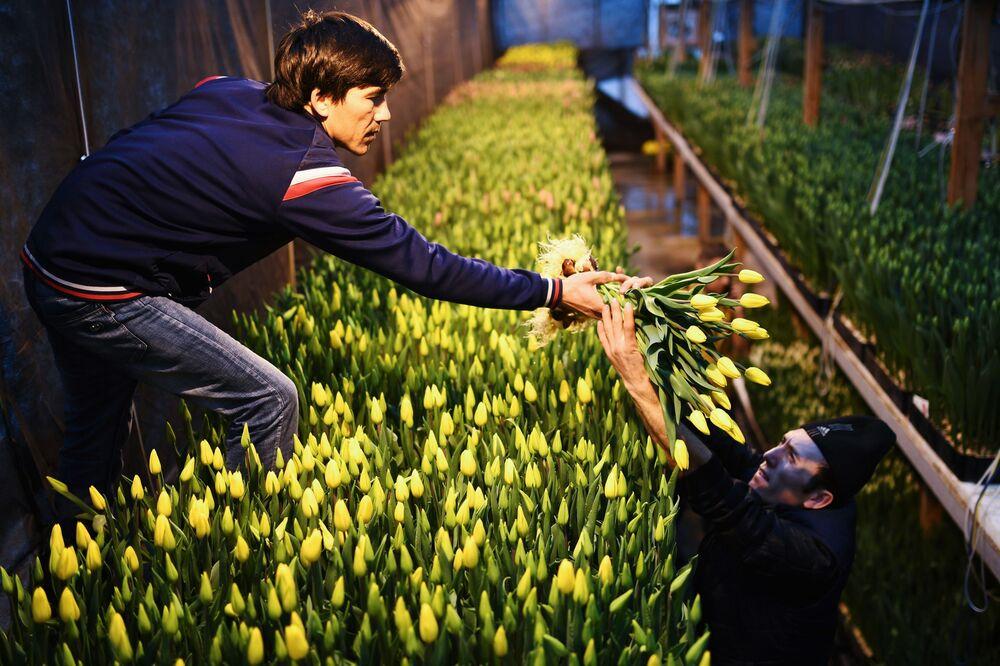 Empregados de estufa russa em Novosibirsk coletam tulipas nas vésperas do Dia Internacional da Mulher