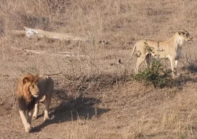 Leão atrapalha caçada de fêmea e deixa refeição escapar