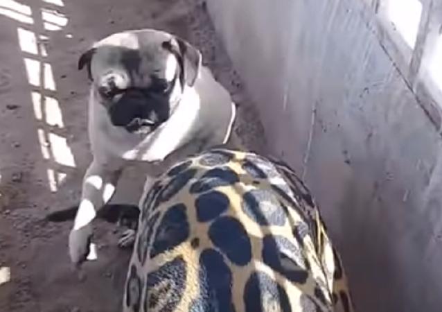 Pug descarado morde onça-pintada e escapa da punição