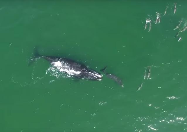 Baleias e golfinhos interagem na costa da Flórida
