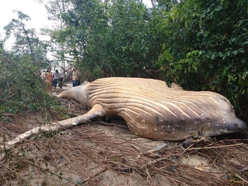 Baleia jubarte encontrada morta na selva amazônica