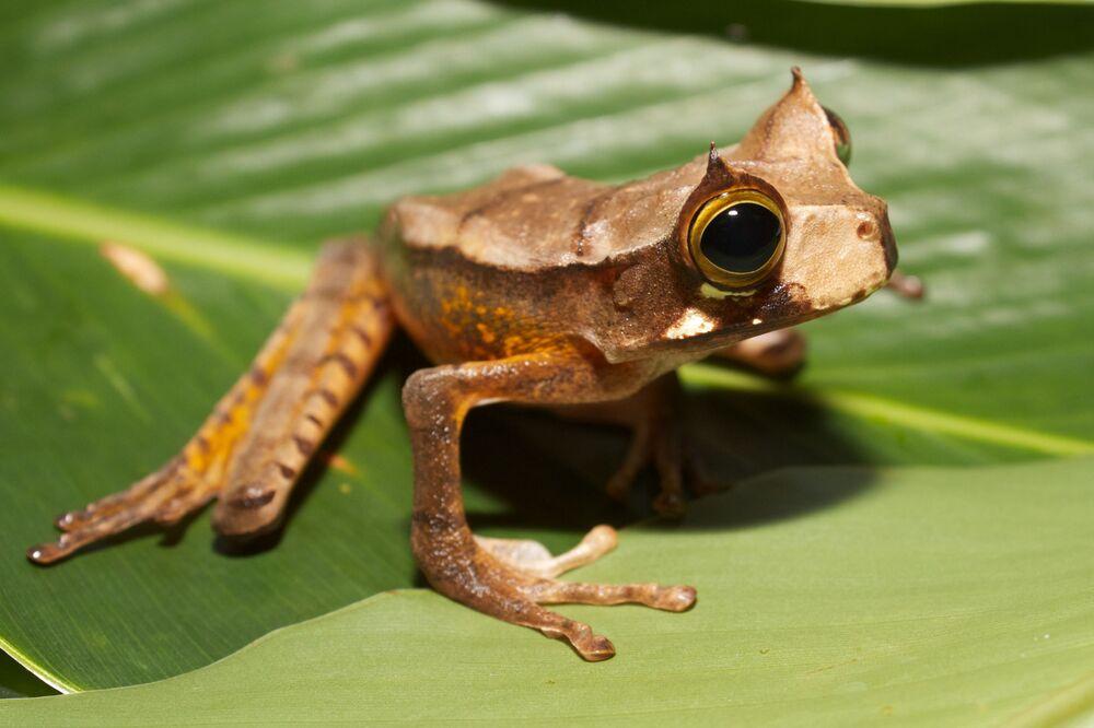 Gastrotheca cornuta representa uma espécie de anfíbio da família Hemiphractidae. Pode ser encontrada em alguns países da América do Sul onde seu habitat natural inclui florestas subtropicais ou tropicais húmidas de baixa altitude e rios. Atualmente, está ameaçada por perda de habitat