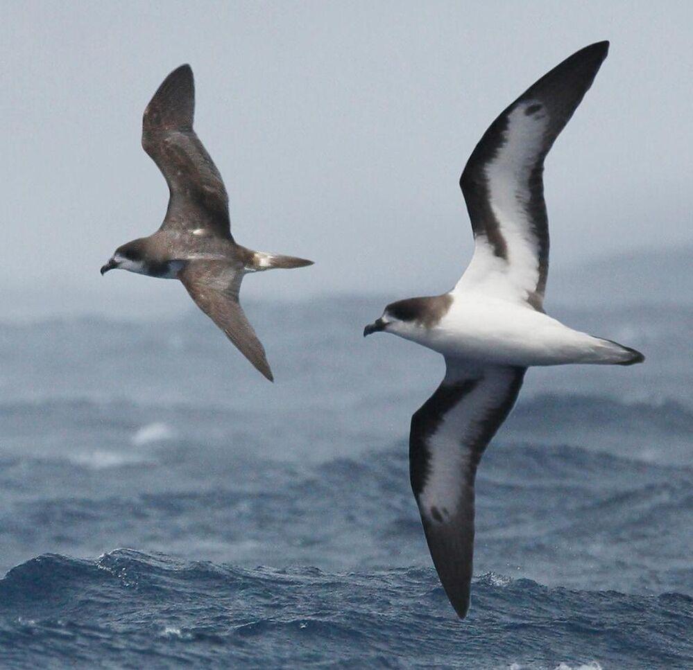 Petrel de Bermuda é uma das espécies marinhas pelágicas mais ameaçadas do mundo